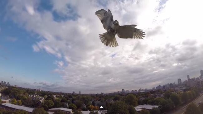 hawk_vs_drone